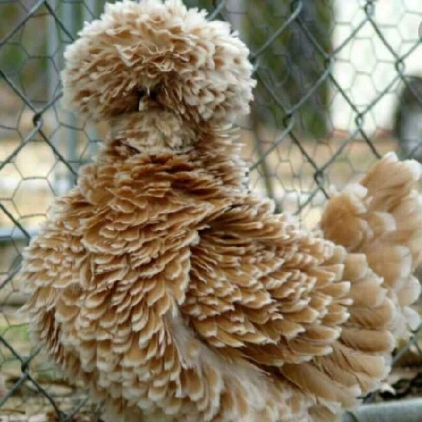 خوراک مرغ تخم گذار.همه نژادها